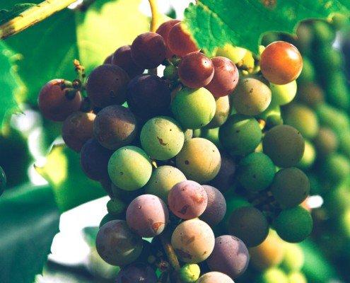 La viticulture raisonnée et durable