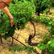 viticulture raisonnée